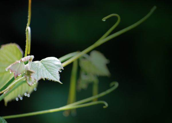 Consorzio Vini Asolo Montello: al via le pratiche di viticoltura sostenibile