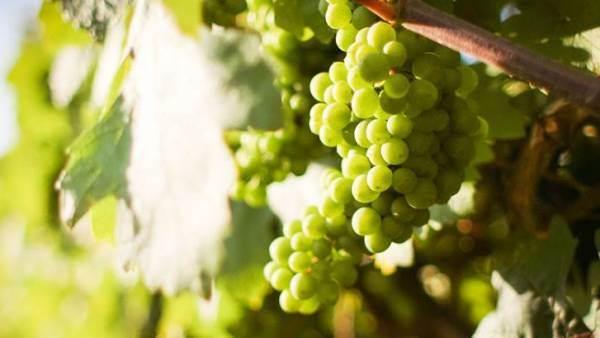 Al via il progetto di certificazione varietale del Vigneto Sicilia