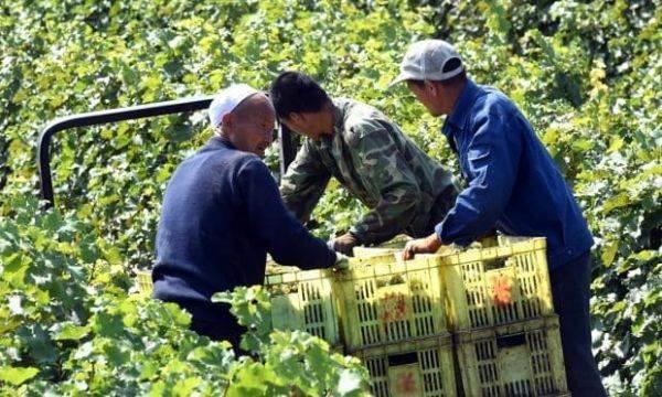 Oiv: la Cina primo produttore di uva anche nel 2018