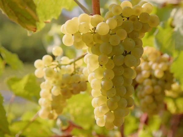 Disposizioni procedurali per la presentazione e l'esame delle domande di protezione delle DO e delle IG dei prodotti vitivinicoli