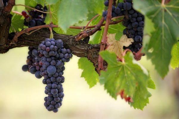 Arriva 'Dioniso', app hi-tech per certificare il vino Made in Italy