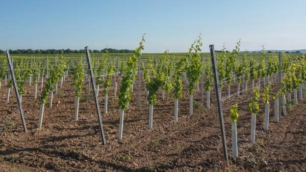 Mipaaf: oltre 6.700 ettari per i nuovi impianti viticoli del 2020