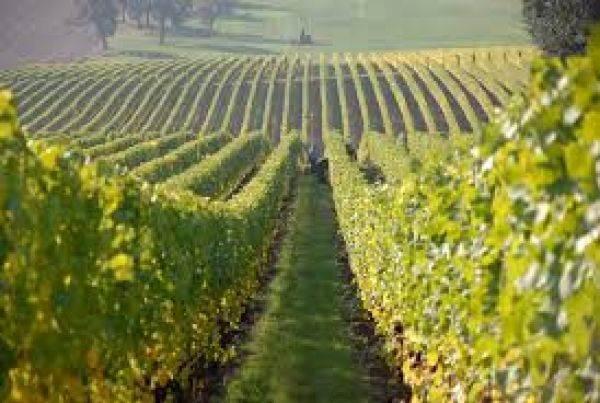Cina prima al mondo per produzione di uve, all'Italia il primato del vino