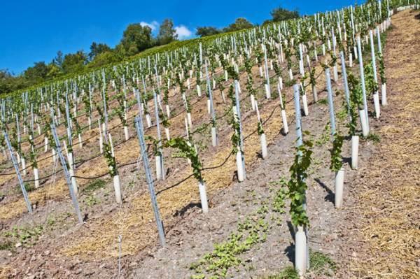 Prorogate a fine 2022 le autorizzazioni per gli impianti viticoli in scadenza quest'anno