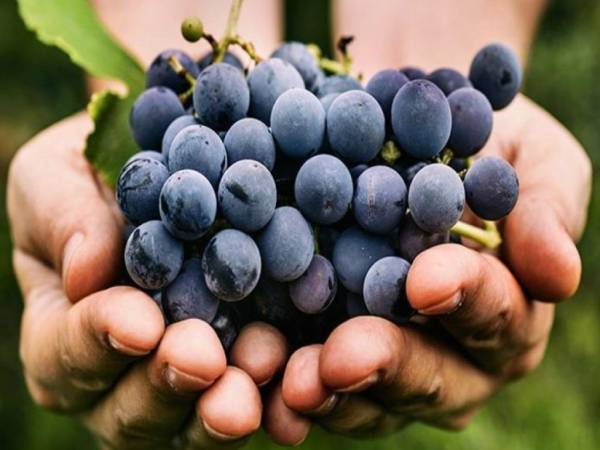 """Ue: i termini """"vino naturale"""" o """"vin méthode nature"""" ingannevoli per il consumatore"""