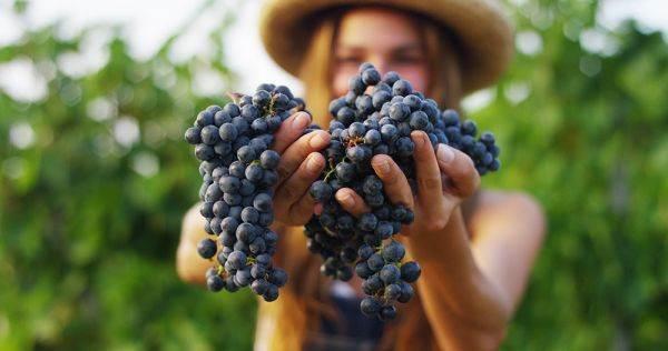 Wine Intelligence: nel futuro sempre più vino sostenibile, biologico e a basso contenuto di alcol