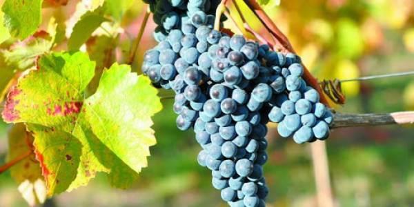 Fosfiti: la ricerca del Crea per vino e ortofrutta bio