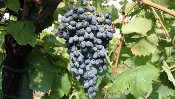 Nuove varietà nel Registro nazionale delle uve da vino