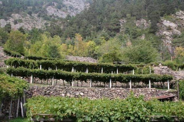Nel territorio del Prié Blanc, unico vitigno autoctono a bacca bianca