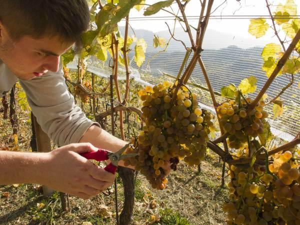 Pubblicato il vademecum vendemmiale ICQRF per la campagna vitivinicola 2021/2022