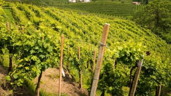 Innovazione in vigna: in Veneto prove sperimentali per la riduzione dei fitofarmaci e aree montane