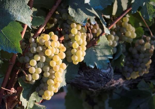 Cagliari: finanziamenti alle startup che riutilizzano scarti di lavorazione del vino