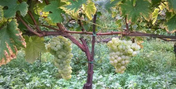 Franciacorta riscopre l'Erbamat, antico vitigno autoctono