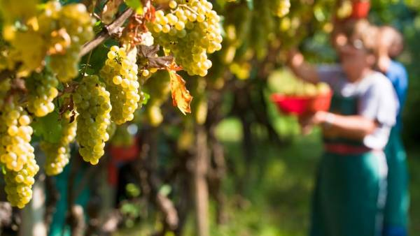 Dichiarazioni obbligatorie di vendemmia e di produzione di vino e/o mosto 2020/2021