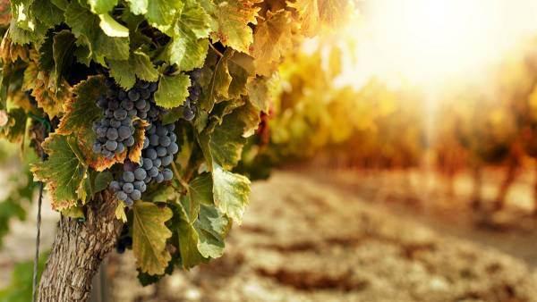 Vini bio: siglato protocollo di sperimentazione tra Consorzio di Tutela Vini Doc Sicilia e Icqrf