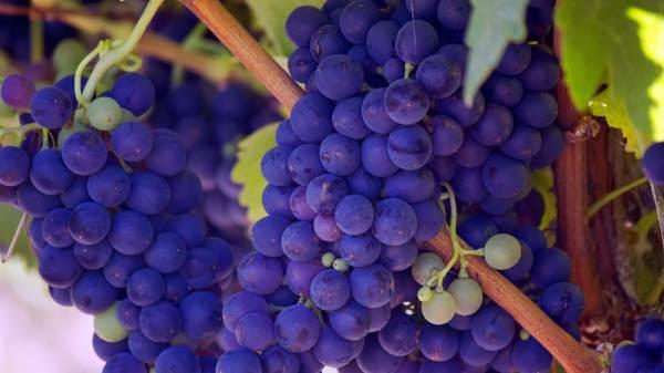 India: il governo dell'Uttar Pradesh verso lo sviluppo del settore vino